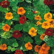 Nasturtium Alaska Mix Appx 60 seeds