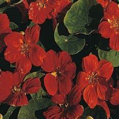 Nasturtium Empress of India - Tropaeolum - 40 seeds