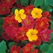 Nasturtium Jewel mixed - Tropaeolum - Appx 150 seeds