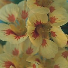 Nasturtium Peach melba - Tropaeolum - 50 seeds