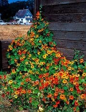 Nasturtium Tall climbing mix - Tropaeolum  180 seeds