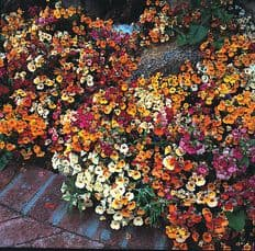 Nemesia Carnival Mix - Approx 1000 seeds