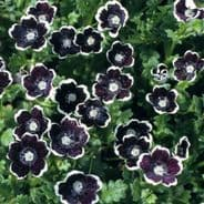 Nemophila discioidalis Penny Black - Appx 300 seeds - Hanging Basket