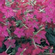Nicotiana F1 Perfume Bright Rose 60 seeds