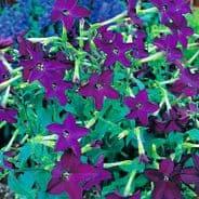 Nicotiana F1 Perfume Deep Purple 60 seeds