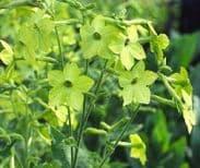 Nicotiana F1 Perfume Lime 60 seeds