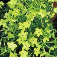 Nicotiana Lime Green Appx 2000 seeds