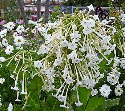 Nicotiana sylvestris - Only the Lonely Appx 1000 seeds