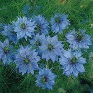 Nigella (love in the mist) Miss Jekyll Light Blue - 700 seeds