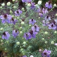 Nigella (love in the mist) Miss Jekyll Oxford Blue - 1000 seeds