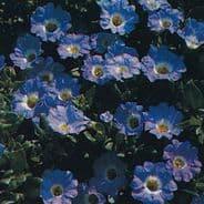 Nolana Blue Bird - 25 seeds - baskets and tubs