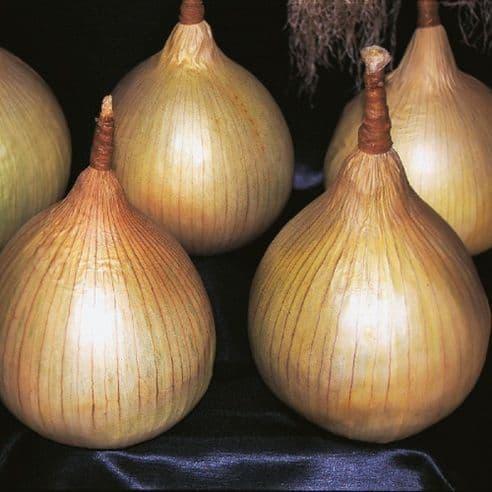 Onion Ailsa Craig - 10 Grams - Bulk Discounts available