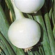 Onion Kosma - 240 - 500 seeds