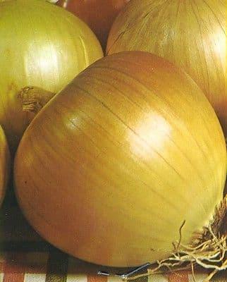 Onion 'Rijnsburger 5' - 200 or 1000 seeds