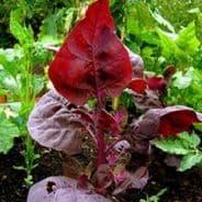 Orach Red Plume Appx 450 seeds - 1 gram