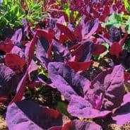 Orach Red Plume - Atriplex hortensis - 5 grams - 1kg