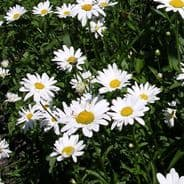 Oxeye daisy - Leucanthemum vulgare - 12,000 seeds