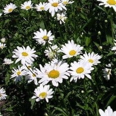 Oxeye daisy - Leucanthemum vulgare - 6,000 seeds