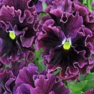 Pansy Frizzle Sizzle Burgundy - 25 seeds