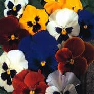 Pansy Swiss Giant mixed Appx 50 seeds