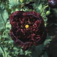 Papaver Black peony - 700 seeds
