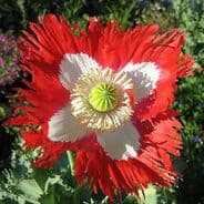 Papaver Danish Flag Poppy - Approx 100 seeds
