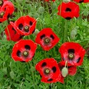 Papaver Lady Bird 'Ladybird Poppy' appx 6000 seeds