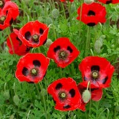 Papaver Lady Bird 'Ladybird Poppy' appx 6000 seeds
