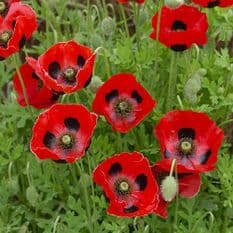 Papaver Lady Bird - Poppy - 10 grams - 1 KG