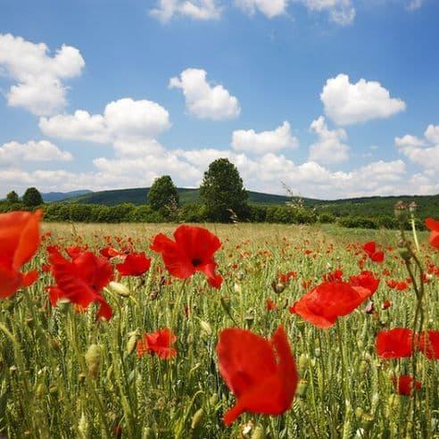 Papaver rhoeas - Red Field Poppy - Flanders poppy - various quantities