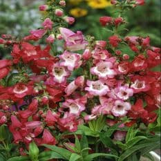 Penstemon Crown Hybrids - 750 seeds