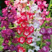 Penstemon Sensation Mix - appx 800 seeds