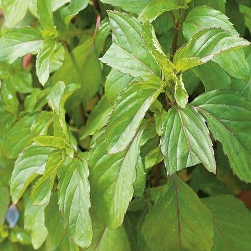 Peppermint - mentha piperita - 1 gram - Bulk Discounts available
