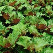 Perilla Bi - Colour - Shiso - Japanese Basil - Appx 340 seeds
