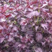 Perilla Red - Shiso - Japanese Basil - Min 1000 seeds