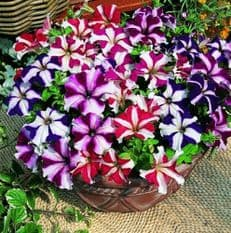 Petunia compacta nana Stars Mix - 1g - Bulk Discounts Available