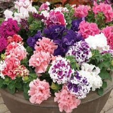 Petunia Double F1 Pirouette Mix - 500 Pelleted seeds - Bulk Discounts available