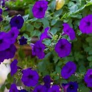 Petunia Express Blue - 50 Pelleted seeds