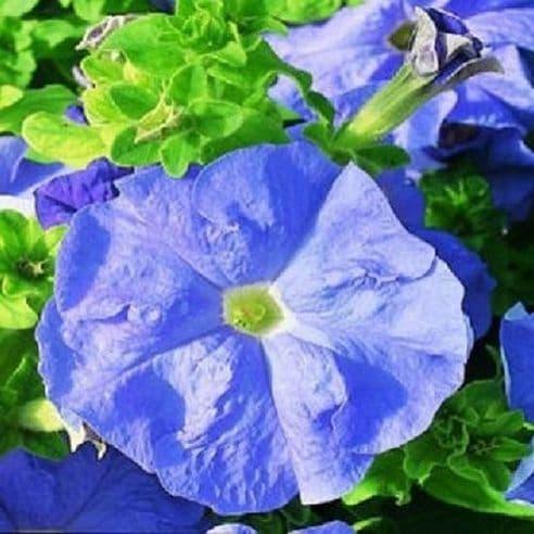 Petunia Express Blue Sky - 50 Pelleted seeds