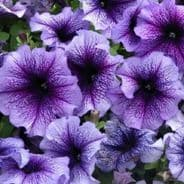 Petunia Express Blue vein - 50 Pelleted seeds
