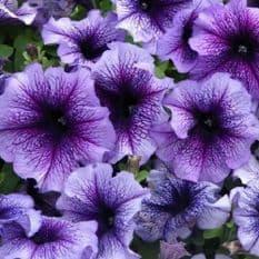 Petunia Express Blue vein - 50 Pelleted seeds