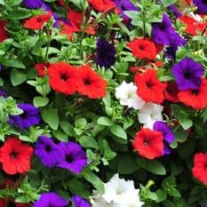 Petunia Express Red, White and Blue mix- 50 Pelleted seeds