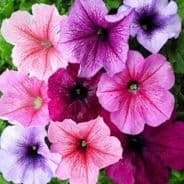 Petunia Express Vein Mix - 50 Pelleted seeds