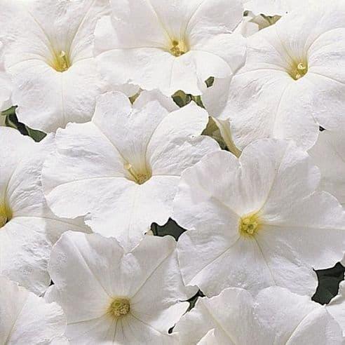 Petunia Express White - 50 Pelleted seeds