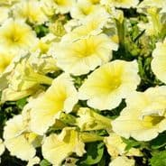 Petunia Express Yellow - 50 Pelleted seeds