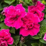 Petunia F1 Double Duo Rose - 30 Pelleted seeds