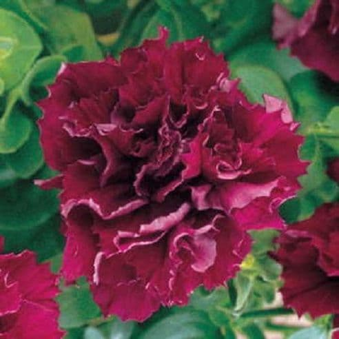 Petunia F1 Pirouette Burgundy - 30 Pelleted seeds