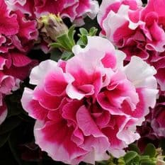 Petunia F1 Pirouette Rose White- 30 Pelleted seeds