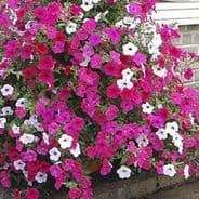 Petunia F1 Tidal Wave Mix 15 Pelleted seeds