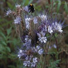 Phacelia tanacetifolia 25 gr Attracts Bees / Green Manure